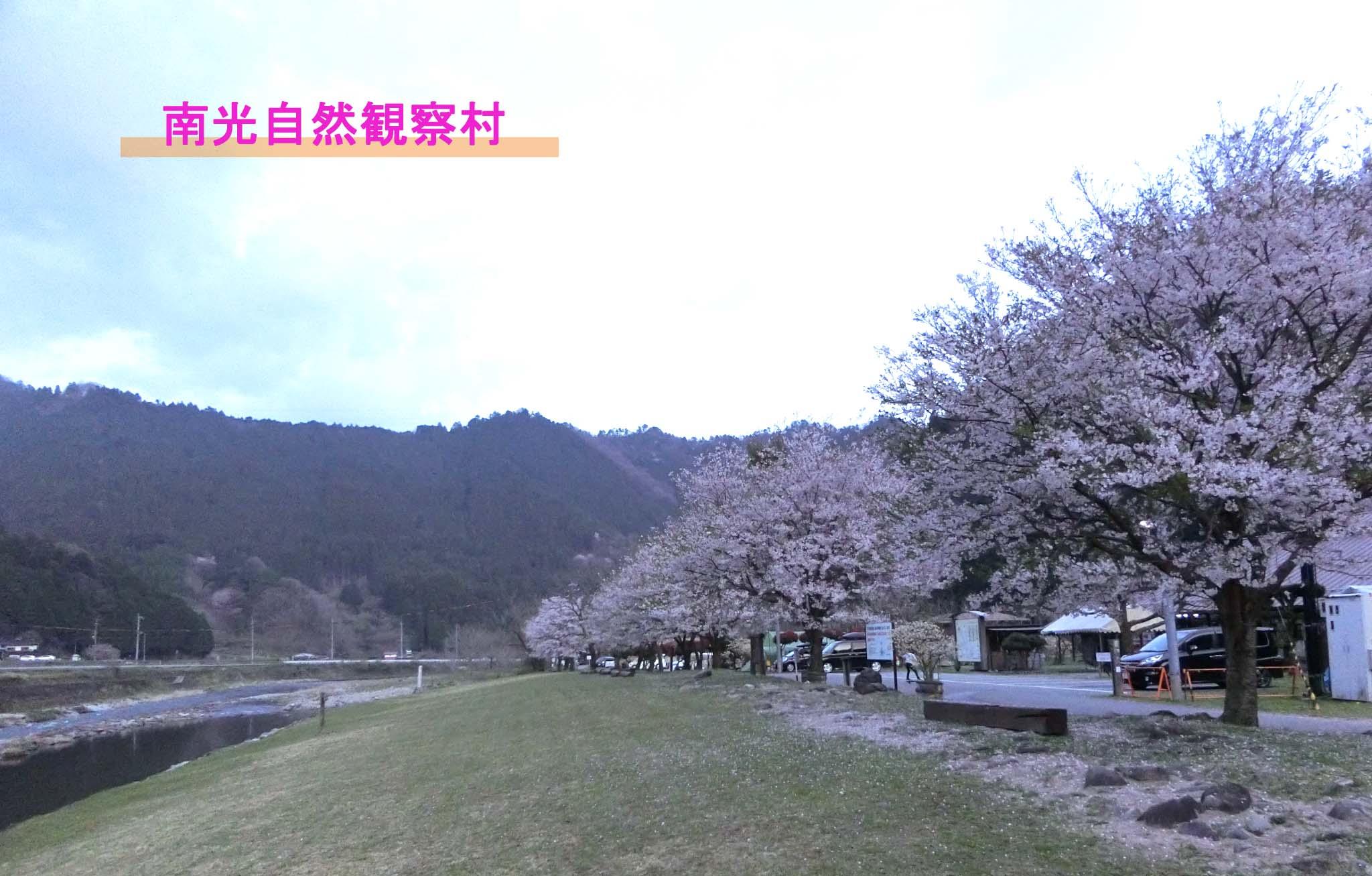 南光自然観察村キャンプ-桜の季節に絶対行きたいキャンプ場①