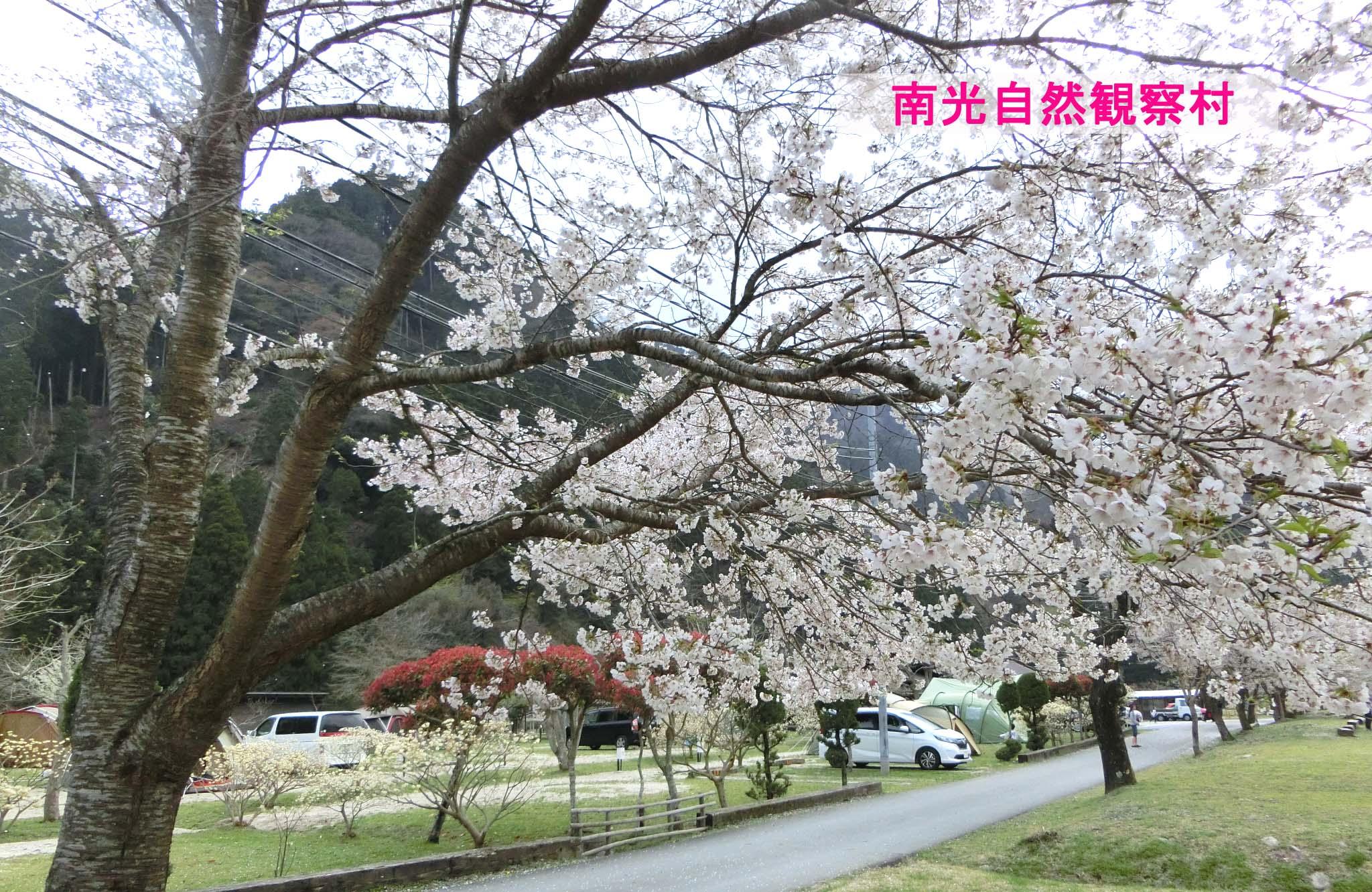 南光自然観察村キャンプ-桜の季節に絶対行きたいキャンプ場②